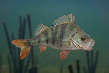Perch Fish Isolated On Natural Underwater Background