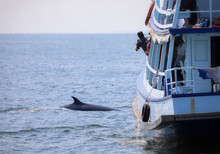 Whale Watching In Thailand. Br...