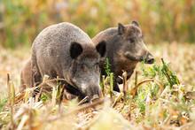 Herd Of Wild Boars, Sus Scrofa...