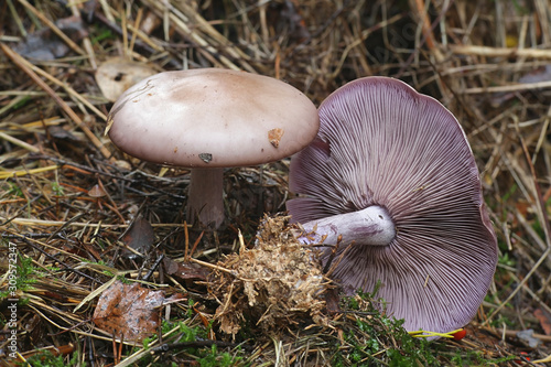 Photo Lepista nuda, known as the Wood Blewit, wild mushroom from Finland