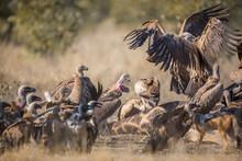 Group Of White Backed Vultures...