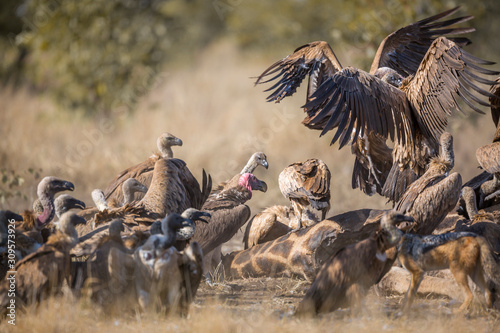Group of White backed Vultures fighting on giraffe's carcass in Kruger National Canvas Print