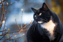 Black Domestic Cat Portrait In...