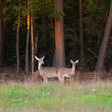 Two Yearlings And Their Doe