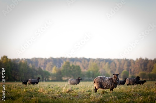 Cuadros en Lienzo Sheep in Gotland, Sweden