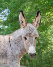 Cute Young Donkey Foal Looking Alert And Cocks Its Long Ears Forward, Portrait In Front Of Green Trees