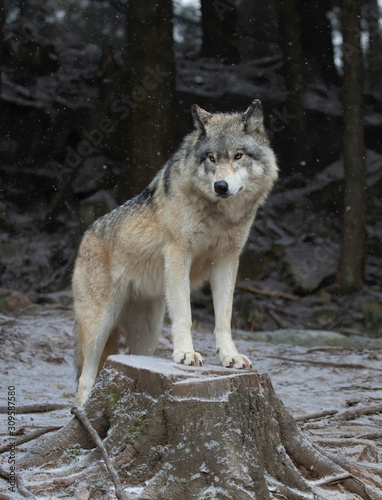 A lone Timber wolf or Grey Wolf Canis lupus portrait in the winter snow in Canad Canvas Print