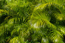 Palm Tree Leaf Background -palm Leaves Bush