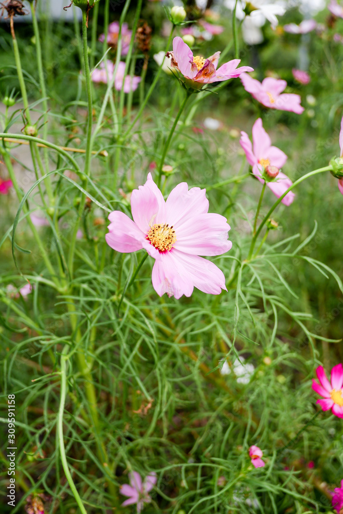 Beautiful pink cosmos flower in the garden