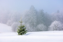 Small Spruce Tree On The Snow ...