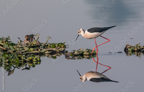 Black winged bird in the water body with clear reflection Fototapet