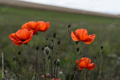 Fototapety, obrazy: Poppy flower. A field of poppy flowers blossoming during spring against a landscape with shallow depth of field