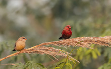 Red Avadavat/Lal Munia Bird Si...