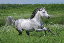Gray Dappled Arabian Horse Run...