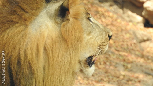 Fototapety, obrazy: Closeup lioness walking in forest with green trees background, Female Lion closeup in hunting mode. A detailed view of the predator look with out-focus green grass background sitting on rock in forest