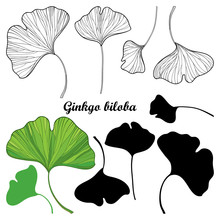 Set Of Outline Gingko Or Ginkgo Biloba Leaves In Black And Green Isolated On White Background.