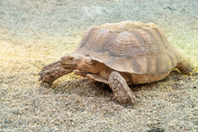 A Large Desert Tortoise Walkin...
