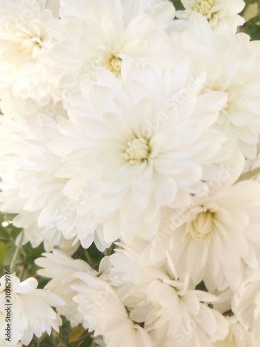 White chrysanthemums at the cottage in autumn under the sun #309629766
