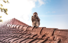 Monkey On A Temple Roof In The...