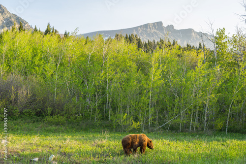 Fényképezés Bear in Glacier National Park