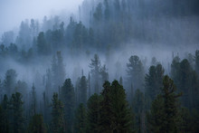 Fog Over Coniferous Forest, Si...