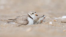 A Hatchling Piping Plover Seek...