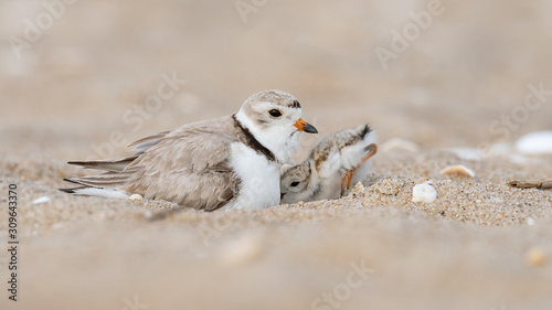 Canvas-taulu A hatchling Piping Plover seeks shelter under its mother.