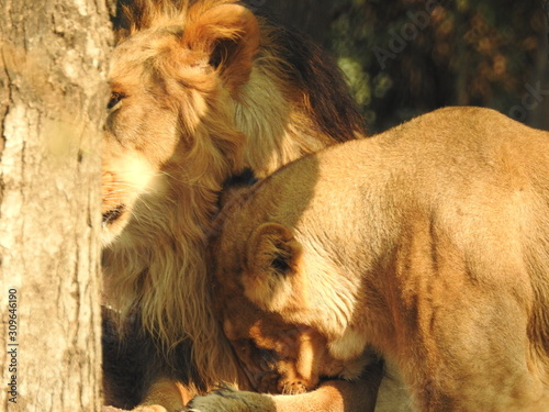 Fototapety, obrazy: Lion and Lioness fighting, A male lion looking at forward to you, closeup portrait of a male lion in Masai Mara Kenya. African lion.