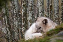 Arctic Fox, Vulpes Lagopus, La...
