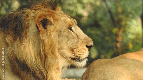 Fototapety, obrazy: Single lion looking regal standing proudly on a small hill. Lion face to face and close to photographer in the nature habitat/captive animals/very sharp detail/african animals/big cats