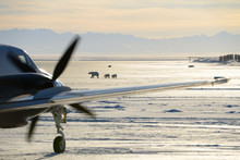 Taxiing Airplane On Barter Island LRRS Airport Kaktovik Alaska With Polar Bear Sows And Cubs And Mountains