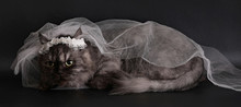 Wedding Portrait A Cat Black Background