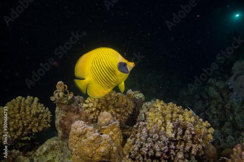Fototapety, obrazy: Falterfisch