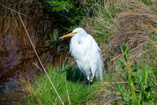 Snowy Egret Standing By The Water