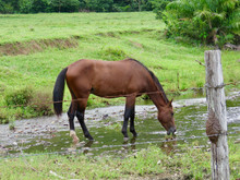 Horse Drinking Water In Nature...