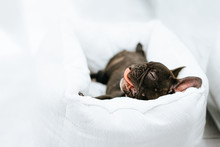 French Bulldog Sleeping In Bed
