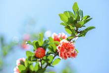Pink Blooming Mini Pomegranate...