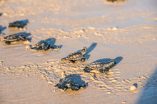 Six Sea Turtle Hatchlings Goin...