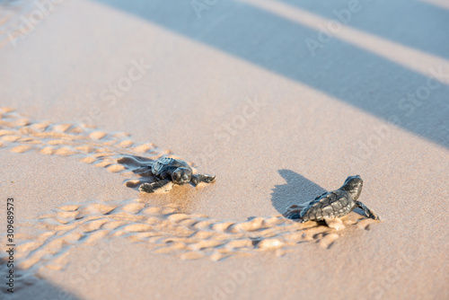 Vászonkép Two sea turtle hatchlings at the beach