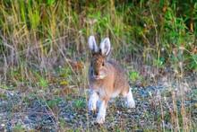 Alaska Wildlife Photography, Denali National Park, Wild Rabbit