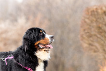 Profile Of A Happy Bernese Mou...