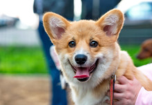 Welsh Corgi Dual Coloured Pupp...