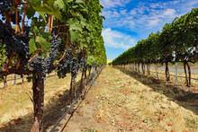 Vineyard In Washington