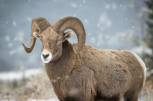 Bighorn Sheep In British Colum...
