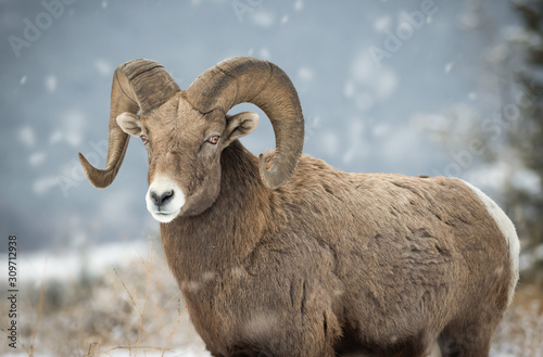 Bighorn sheep in British Columbia Canvas Print
