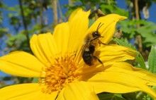 Bumblebee On Yellow Flower