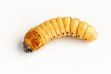 Beetle Worm Of Scarab Beetle Is Dangerous Insect Pest With Mango Tree Borer. Batocera Rufomaculata For Eating As Food Edible Insects, It Is Good Source Of Protein. Environment And Entomophagy Concept.