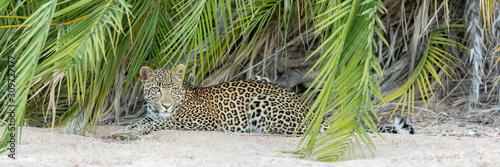 Photo Young alert African Leopard, Kruger Park
