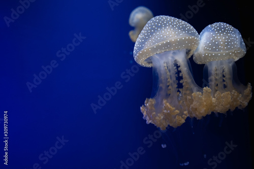 Fotografia, Obraz White-spotted jellyfish floats through water on a blue background