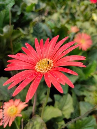 Photo Barberton daisy flower